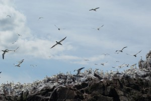 Gannets at Bassrock